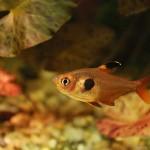 Fantom červený  (Hyphessobrycon sweglesi)