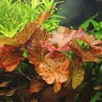 Nymphaea Lotus Red