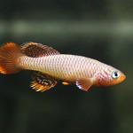 Notnobranchius flammicomantis - samček