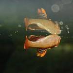 Halančík plamenný (Notnobranchius flammicomantis)