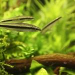 Mrenka siamská (cz: Parmička černopruhá) / Crossocheilus siamensis