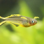 Aterínka žltooranžová (cz: Gavúnek vidloocasý) / Pseudomugil furcatus - samček