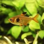 Fantóm červený / Hyphessobrycon sweglesi