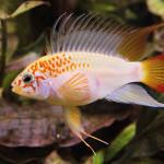 Apistogramma viejita samček bráni hniezdo