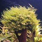 Vesicularia dubyana