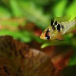 Mikrogeophagus ramirezi - samička