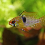 Mikrogeophagus ramirezi - samček