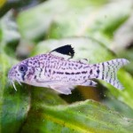 Corydoras trilineatus